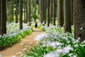 綾部市のシャガの花群生地